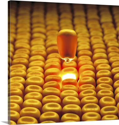 Mature grain corn kernel floating above layer of corn