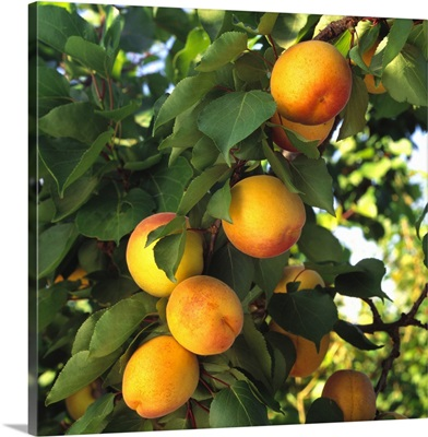 Mature, harvest ready Apriums on the tree