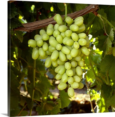 Mature, harvest ready bunch of Thompson Seedless grapes