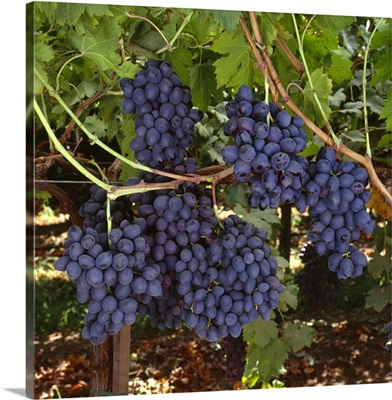Mature, harvest ready bunches of Autumn Royal black grapes