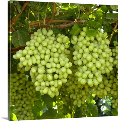 Mature, harvest ready bunches of Thompson Seedless grapes