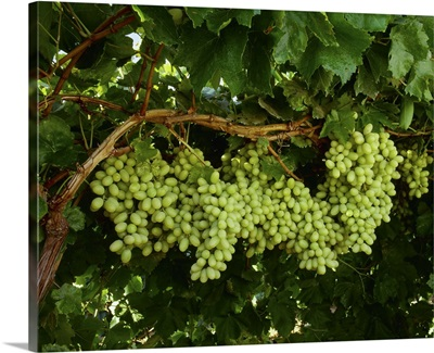 Mature, harvest ready bunches of Thompson Seedless table grapes on the vine