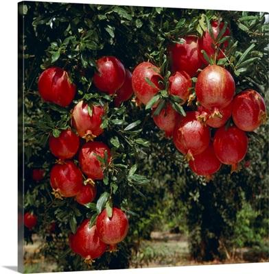 Mature, harvest ready pomegranates on the tree