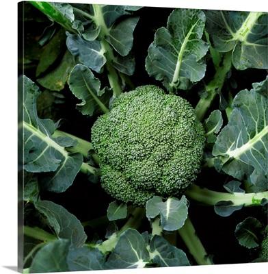 Mature head of broccoli ready for harvest, Salinas Valley, California