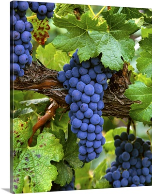 Mature Merlot wine grape clusters on the vine, ripe and ready for harvest