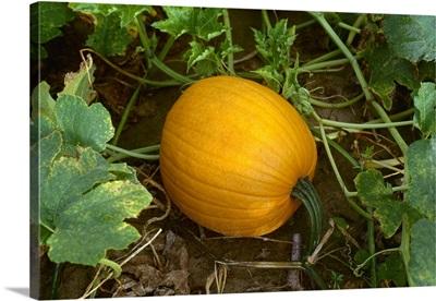 Mature pumpkin on the vine, Tennessee