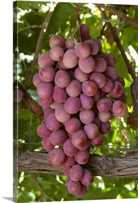 Mature Red Globe table grapes on the vine