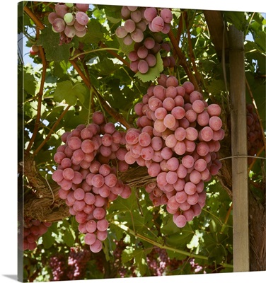 Mature Red Globe table grapes on the vine, Fresno County, California