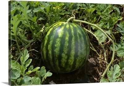 Mature seedless watermelon on the vine, Missouri