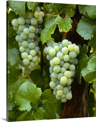 Mature Semillon wine grape clusters on the vine, ripe and ready for harvest
