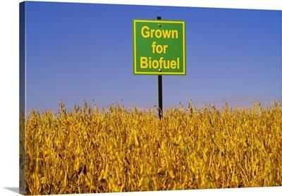 Mature soybean crop being grown for biodiesel
