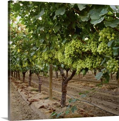 Mature Thompson Seedless table grapes on the vine, Fresno County, California