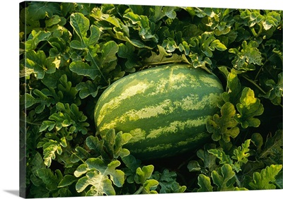 Mature watermelon in the field, ready for harvest, Tennessee