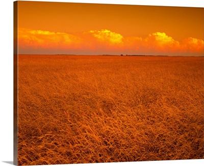 Mature wheat field in sunset light with cumulonimbus clouds above