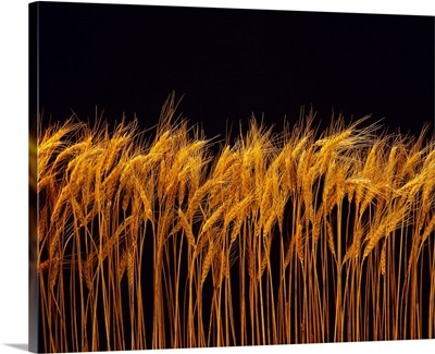 Mature wheat heads with a black background