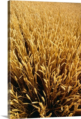 Mature wheat, ready for harvest, Defiance, Ohio