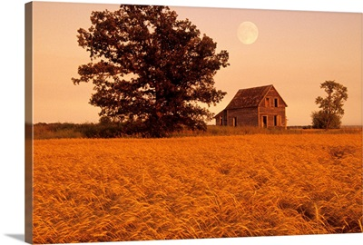 Mature Winter Wheat With Old House, Beausejour, Manitoba, Canada