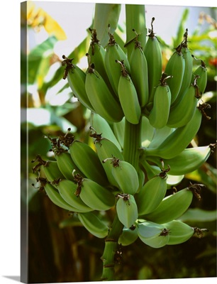 Maturing bananas on the stalk in open shade, San Diego, California