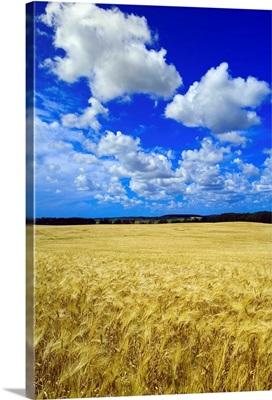 Maturing Barley Crop And Sky With Cumulus Clouds, Manitoba, Canada