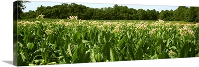 Mid growth bloom stage Burley tobacco