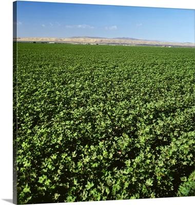 Mid growth, bloom stage cotton field, Los Banos, California
