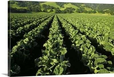 Mid growth cauliflower field