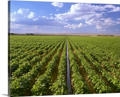 Mid growth field of dry bean plants