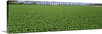 Mid growth field of Romaine lettuce