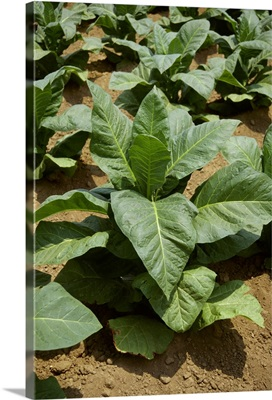 Mid growth Flue Cured tobacco plants