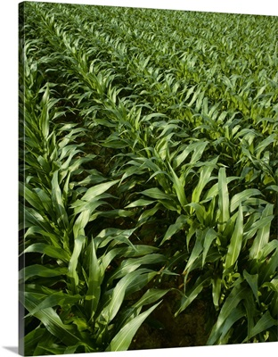 Mid growth grain corn, pre-tassel stage, Tennessee