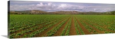 Mid growth Iceberg lettuce field, Santa Barbara County, California