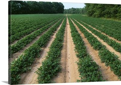 Mid growth peanut field, Virginia