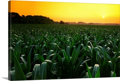 Mid growth pre-tassel grain corn field at sunset with a farmstead in the distance