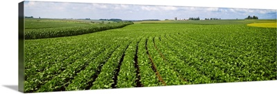Mid growth soybean field in the foreground