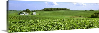 Mid growth soybean fields on rolling hills