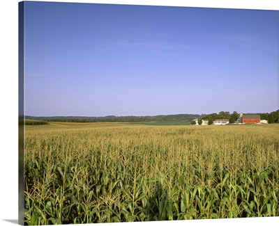 Mid growth tasseled grain corn field in late afternoon light