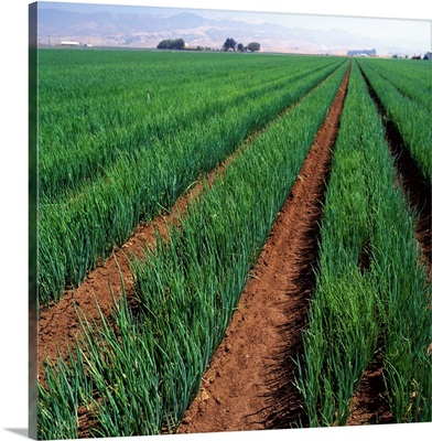 Mid-growth white onion field, Salinas Valley, California