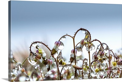 Mist collects on saxifrage blossoms