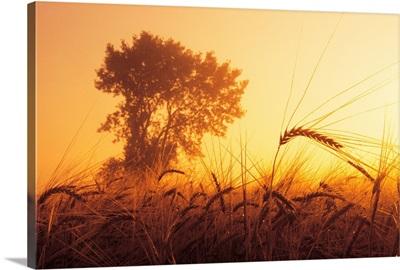 Mist In A Barley Field At Sunset, Near Carey, Manitoba, Canada