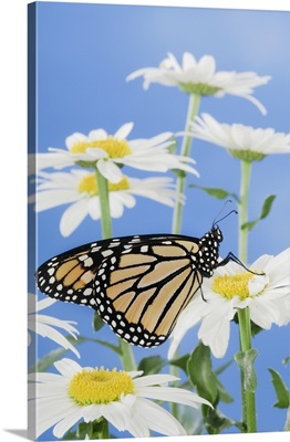Monarch Butterfly In Daisies
