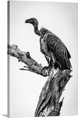 Monochrome White-Backed Vulture, Tarangire National Park, Tanzania