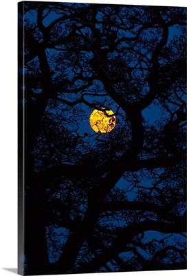 Moon Rising Behind Old Oak Tree, Hampshire, United Kingdom