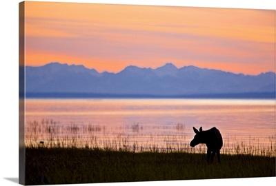 Moose calf feeding along the Tony Knowles Coastal Trail at sunset
