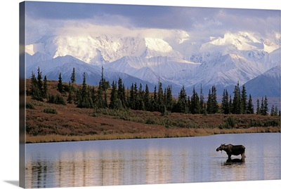 Moose Cow in Wonder Lake Denali NP Interior AK
