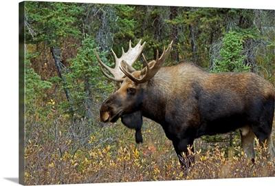 Moose In A Forest; Alberta, Canada