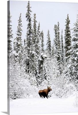 Moose In Deep Snow, Near Teslin, Yukon, Canada