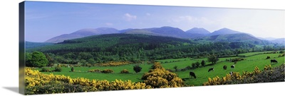 Mourne Mountains, County Down, Ireland, Grazing Animals