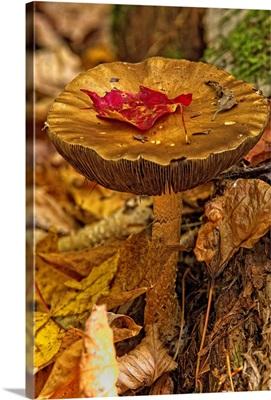 Mushroom With Leaf On It, Algonquin Provincial Park, Ontario, Canada