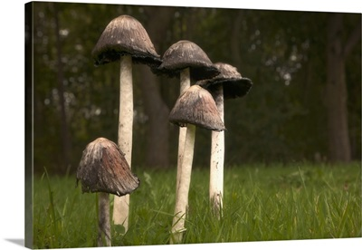 Mushrooms With Tall Stems Growing In The Grass; Northumberland, England