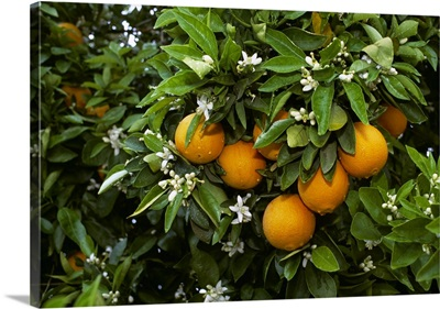 Navel oranges on the tree with blossoms, Porterville, California